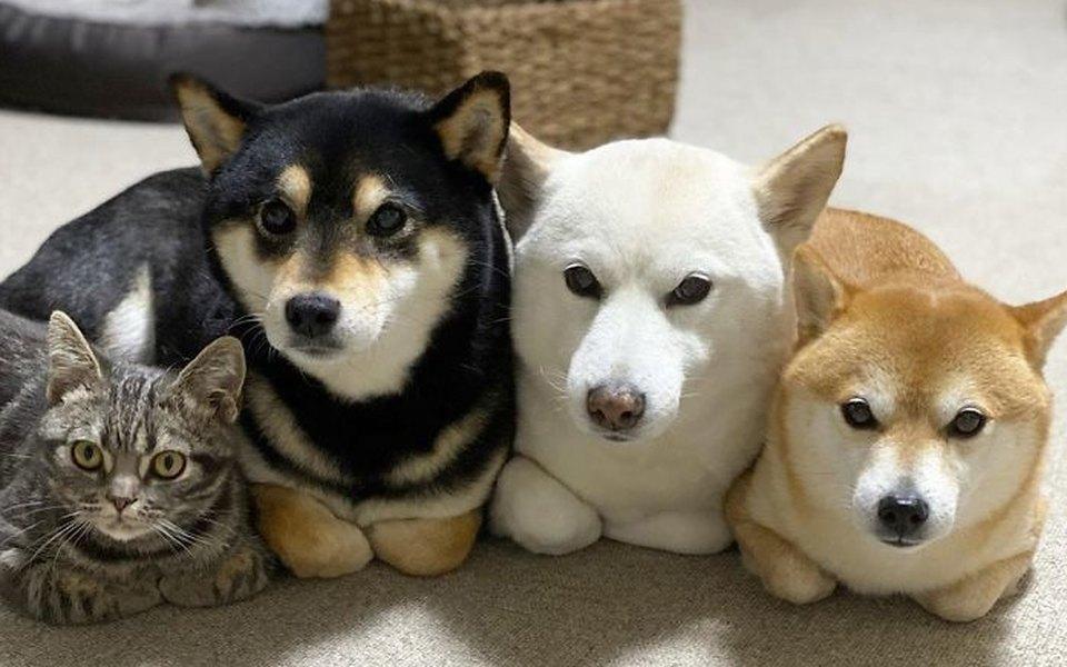 Как кот подружился с тремя собаками. И, похоже, считает себя одним из них